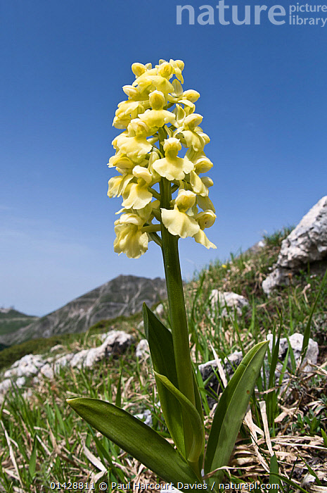 Pale-flowered Orchid (Orchis pallens) in flower, Italy, June  ,  ALPINE,EUROPE,FLOWERS,ITALY,MONOCOTYLEDONS,ORCHIDACEAE,ORCHIDS,PLANTS,VERTICAL,YELLOW  ,  Paul Harcourt Davies