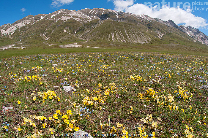 Eugenia's Violet (Viola eugeniaea) yellow form in flower, Campo Imperatore, Gran Sasso, Appennines, Abruzzo, Italy, May 2011  ,  ALPINE,DICOTYLEDONS,EUROPE,FLOWERS,ITALY,LANDSCAPES,MOUNTAINS,PLANTS,VIOLACEAE,YELLOW,Apennines,Appennines,  ,  Paul Harcourt Davies