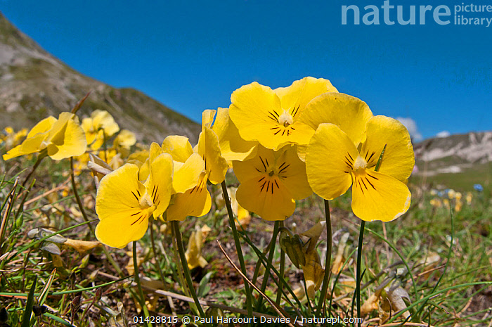 Eugenia's Violet (Viola eugeniaea) yellow form in flower, Campo Imperatore, Gran Sasso, Appennines, Abruzzo, Italy, May  ,  ALPINE,DICOTYLEDONS,EUROPE,FLOWERS,ITALY,PLANTS,VIOLACEAE,YELLOW,Apennines,Appennines,  ,  Paul Harcourt Davies