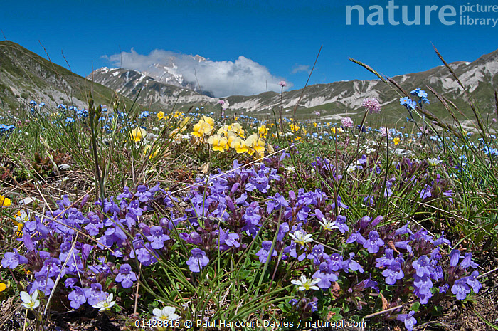 Basil Thyme (Acinos arvensis) with Viola (Viola eugeniae) and Forget-me-nots (Myosotis) Campo Imperatore, Gran Sasso, Appennines, Abruzzo, Italy, May  ,  ALPINE,BLUE,DICOTYLEDONS,EUROPE,FLOWERS,HABITAT,ITALY,LAMIACEAE,PLANTS,YELLOW,Apennines,Appennines,  ,  Paul Harcourt Davies