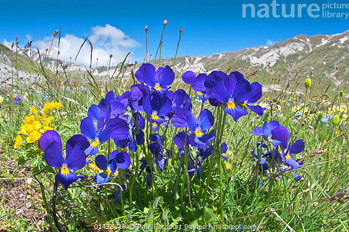 Eugenia's Violet (Viola eugeniaea) in flower, blue form Campo Imperatore, Gran Sasso, Appennines, Abruzzo, Italy, May  ,  ALPINE,BLUE,DICOTYLEDONS,EUROPE,FLOWERS,HABITAT,ITALY,PLANTS,VIOLACEAE,Apennines,Appennines,  ,  Paul Harcourt Davies