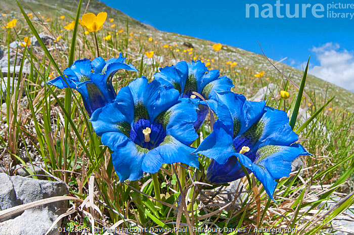 Appennine Trumpet Gentian (Gentiana dinarica) in flower, on roadside below Gran Sasso, Appennines, Abruzzo, Italy, May, ALPINE,BLUE,DICOTYLEDONS,EUROPE,FLOWERS,GENTIANACEAE,ITALY,PLANTS,catalogue6,GENTIANA SP,Plant,Vascular plant,Flowering plant,Asterid,Gentian,Appennine Trumpet Gentian,Plantae,Plant,Tracheophyta,Vascular plant,Magnoliopsida,Flowering plant,Angiosperm,Seed plant,Spermatophyte,Spermatophytina,Angiospermae,Gentianales,Asterid,Dicot,Dicotyledon,Asteranae,Gentianaceae,Gentian,Gentiana,Resilience,Resilient,Colour,Blue,Yellow,Few,Four,Group,No One,Nobody,Vibrant Colour,Vibrant Color,Vibrant,Sloping,Slanted,Slope,Sloped,Slopes,Europe,Southern Europe,South Europe,Italy,Abruzzo,Close Up,Roadside,Roadsides,Hill,Hills,Hillside,Hillsides,Outdoors,Open Air,Outside,Day,Verges,Verge,Gentiana dinarica,Appennine Trumpet Gentian,Four Objects,Appenines,Gran Sasso,Apennines,Appennines,, Paul Harcourt Davies,Paul  Harcourt Davies