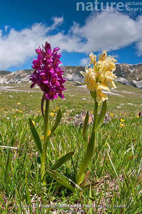 Elder flower orchid (Dactylorhiza sambucina) in its two colour forms, Campo Imperatore, Gran Sasso, Appennines, Abruzzo, Italy, May  ,  ALPINE,BLUE,EUROPE,FLOWERS,HABITAT,ITALY,MONOCOTYLEDONS,ORCHIDACEAE,orchids,PLANTS,PURPLE,VERTICAL,YELLOW,catalogue6,DACTYLORHIZA SP,Plant,Vascular plant,Flowering plant,Monocot,Orchid,Keyflower,Elder flowered Orchid,Plantae,Plant,Tracheophyta,Vascular plant,Magnoliopsida,Flowering plant,Angiosperm,Seed plant,Spermatophyte,Spermatophytina,Angiospermae,Asparagales,Monocot,Monocotyledon,Lilianae,Orchidaceae,Orchid,Dactylorhiza,Keyflower,Key flower,Marsh orchid,Spotted orchid,Contrasts,Colour,Purple,Side By Side,Two,No One,Nobody,Months,May,Europe,Southern Europe,South Europe,Italy,Abruzzo,Close Up,Cloud,Outdoors,Open Air,Outside,Day,Nature,Natural,Natural World,Dactylorhiza sambucina,Elder flowered Orchid,Two Objects,Appenines,Gran Sasso,Cream colour,Campo Imperatore,Apennines,Appennines,  ,  Paul Harcourt Davies,Paul  Harcourt Davies