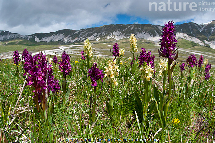 Elder flower orchid (Dactylorhiza sambucina) in flower with two colour forms, Campo Imperatore, Gran Sasso, Appennines, Abruzzo, Italy, May 2011  ,  ALPINE,COLOUR,EUROPE,FLOWERS,ITALY,LANDSCAPES,MONOCOTYLEDONS,MORPHISM,MOUNTAINS,ORCHIDACEAE,ORCHIDS,PLANTS,PURPLE,VARIATION,WHITE,Apennines,Appennines,  ,  Paul Harcourt Davies