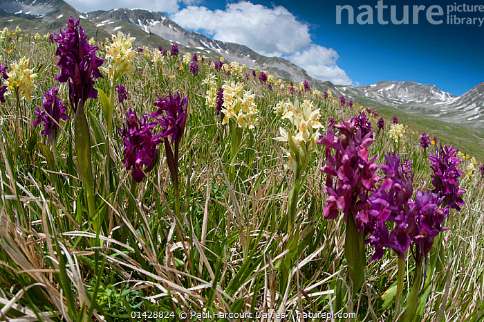 Elder flower orchid (Dactylorhiza sambucina) in flower with two colour forms, Campo Imperatore, Gran Sasso, Appennines, Abruzzo, Italy, May 2011  ,  ALPINE,COLOUR,EUROPE,FLOWERS,ITALY,LANDSCAPES,MONOCOTYLEDONS,MORPHS ,MOUNTAINS,ORCHIDACEAE,ORCHIDS,PLANTS,PURPLE,VARIATION,WHITE,Apennines,Appennines,  ,  Paul Harcourt Davies