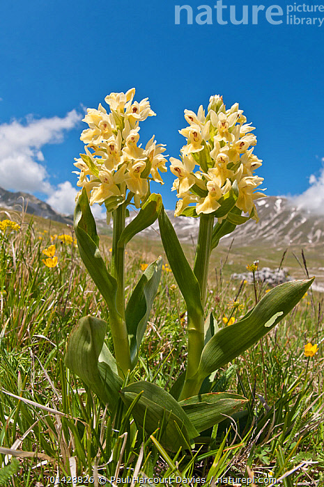 Elder flower orchid (Dactylorhiza sambucina) in flower (yellow form), Campo Imperatore, Gran Sasso, Appennines, Abruzzo, Italy, May  ,  ALPINE,BLUE,EUROPE,FLOWERS,HABITAT,ITALY,MONOCOTYLEDONS,ORCHIDACEAE,ORCHIDS,PLANTS,VERTICAL,YELLOW,Apennines,Appennines,  ,  Paul Harcourt Davies