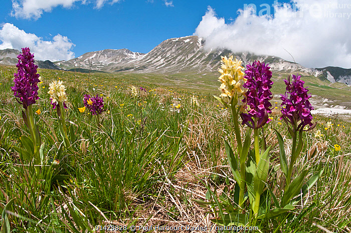 Elder flower orchid (Dactylorhiza sambucina) in flower with two colour forms, Campo Imperatore, Gran Sasso, Appennines, Abruzzo, Italy, May 2011  ,  ALPINE,BLUE,COLOUR,EUROPE,FLOWERS,HABITAT,ITALY,LANDSCAPES,MONOCOTYLEDONS,MORPHISM,MOUNTAINS,ORCHIDACEAE,ORCHIDS,PLANTS,PURPLE,VARIATION,YELLOW,Apennines,Appennines,  ,  Paul Harcourt Davies