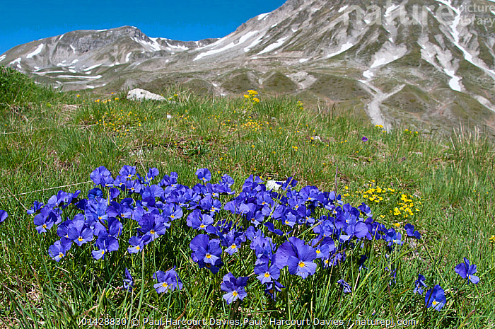 Eugenia's Violet (Viola eugeniaea) in flower, blue form, Campo Imperatore, Gran Sasso, Appennines, Abruzzo, Italy, May 2010  ,  ALPINE,BLUE,DICOTYLEDONS,EUROPE,FLOWERS,ITALY,LANDSCAPES,MOUNTAINS,PLANTS,VIOLACEAE,catalogue6,VIOLA GENUS,Plant,Vascular plant,Flowering plant,Rosid,Violet,Plantae,Plant,Tracheophyta,Vascular plant,Magnoliopsida,Flowering plant,Angiosperm,Seed plant,Spermatophyte,Spermatophytina,Angiospermae,Malpighiales,Rosid,Dicot,Dicotyledon,Rosanae,Violaceae,Viola,Violet,Growth,Grow,Growing,Grows,Colour,Blue,No One,Nobody,Europe,Southern Europe,South Europe,Italy,Abruzzo,Close Up,Wildflower,Wildflowers,Flower,Hill,Hills,Hillside,Hillsides,Mountain,Outdoors,Open Air,Outside,Day,Nature,Natural,Natural World,Viola eugeniae,Appenines,Gran Sasso,Campo Imperatore,Concepts,Apennines,Appennines,  ,  Paul Harcourt Davies,Paul  Harcourt Davies