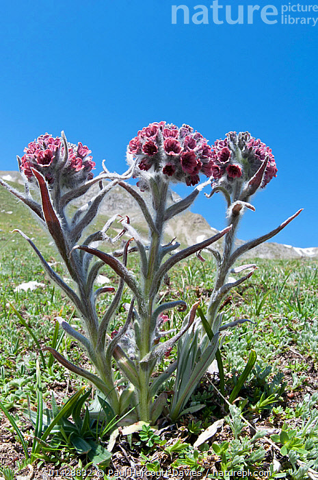 Maiella Houndstongue (Cynoglossum magellense) in flower, Campo Imperatore, Gran Sasso, Appennines, Abruzzo, Italy, May  ,  ALPINE,BORAGINACEAE,DICOTYLEDONS,EUROPE,FLOWERS,ITALY,PLANTS,VERTICAL,Apennines,Appennines,  ,  Paul Harcourt Davies