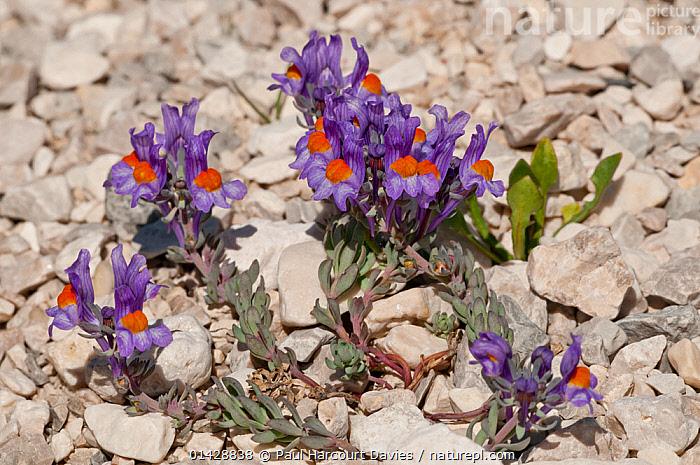 Alpine Toadflax (Linaria alpina) in flower, Campo Imperatore, Gran Sasso, Appennines, Abruzzo, Italy, May  ,  ALPINE,DICOTYLEDONS,EUROPE,FLOWERS,ITALY,ORANGE,PLANTS,PURPLE,SCROPHULARIACAEA,Apennines,Appennines,  ,  Paul Harcourt Davies