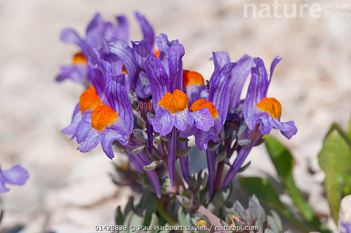 Alpine Toadflax (Linaria alpina) in flower, Campo Imperatore, Gran Sasso, Appennines, Abruzzo, Italy, May  ,  ALPINE,DICOTYLEDONS,EUROPE,FLOWERS,ITALY,PLANTS,PURPLE,SCROPHULARIACAEA,Apennines,Appennines,  ,  Paul Harcourt Davies