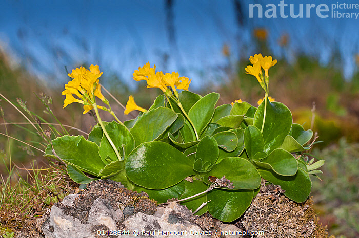 Bear's Ear Primrose (Primula auricula) in flower, Campo Imperatore, Gran Sasso, Appennines, Abruzzo, Italy, May  ,  ALPINE,DICOTYLEDONS,EUROPE,FLOWERS,ITALY,PLANTS,PRIMULACEAE,YELLOW,Apennines,Appennines,  ,  Paul Harcourt Davies
