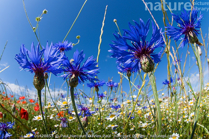 Cornflowers (Centaurea cyanus) in fallow fields, near Sugano, Orvieto, Italy, June, ASTERACEAE,BLUE,COMPOSITAE,DICOTYLEDONS,EUROPE,FARMLAND,FLOWERS,ITALY,PLANTS,catalogue6,CENTAUREA GENUS,Plant,Vascular plant,Flowering plant,Asterid,Knapweed,Cornflower,Plantae,Plant,Tracheophyta,Vascular plant,Magnoliopsida,Flowering plant,Angiosperm,Seed plant,Spermatophyte,Spermatophytina,Angiospermae,Asterales,Asterid,Dicot,Dicotyledon,Asteranae,Asteraceae,Compositae,Centaurea,Knapweed,Star thistle,Growth,Grow,Growing,Grows,Colour,Blue,Group,Medium Group,No One,Nobody,Months,June,Europe,Southern Europe,South Europe,Italy,Close Up,Wildflower,Wildflowers,Flower,Outdoors,Open Air,Outside,Summer,Day,Nature,Natural,Natural World,Grassland,Meadow,Meadows,Centaurea cyanus,Cornflower,Medium Group of Objects,Orvieto,Sugano,Concepts, Paul Harcourt Davies,Paul  Harcourt Davies