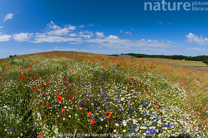 Mayweeds (Anthemis sp), Poppies (Papaver rhoeas) and cornflowers (Centaurea cyanus) in fallow fields  and near Orvieto, Umbria, Italy, June 2010  ,  BLUE,CLOUDS,DICOTYLEDONS,FARMLAND,FLOWERS,ITALY,LANDSCAPES,MEADOWLAND,PAPAVERACEAE,PLANTS,RED,SKY,WHITE,Weather,Europe,Grassland  ,  Paul Harcourt Davies