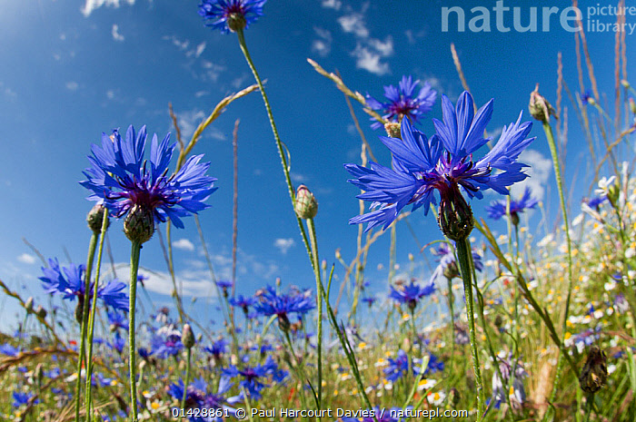 Cornflowers in fallow fields (Centaurea cyanus) near Orvieto, Umbria, Italy, June  ,  BLUE,DICOTYLEDONS,EUROPE,FARMLAND,FLOWERS,ITALY,LOW ANGLE SHOT,PAPAVERACEAE,PLANTS  ,  Paul Harcourt Davies