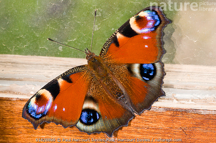 Peacock butterfly (Inachis io) resting against a wood shed window, Orvieto, Italy, June, ARTHROPODS,BUTTERFLIES,EUROPE,GARDENS,INSECTS,INVERTEBRATES,ITALY,LEPIDOPTERA,catalogue6,INACHIS IO,Animal,Arthropod,Insect,Brushfooted butterfly,Peacock butterfly,Animalia,Animal,Wildlife,Hexapoda,Arthropod,Invertebrate,Hexapod,Arthropoda,Insecta,Insect,Lepidoptera,Lepidopterans,Nymphalidae,Brushfooted butterfly,Fourfooted butterfly,Nymphalid,Butterfly,Papilionoidea,Inachis,Inachis io,Peacock butterfly,European peacock butterfly,Aglais io,Nymphalis io,Papilio io,Resting,Rest,Symmetry,No One,Nobody,Pattern,Patterned,Patterns,Close Up,Wing,Wings,Building,Window Frame,Window Frames,Wood,Wooden,Outdoors,Open Air,Outside,Day,Wings spread,Wingspan,Animal marking, Paul Harcourt Davies,Paul  Harcourt Davies