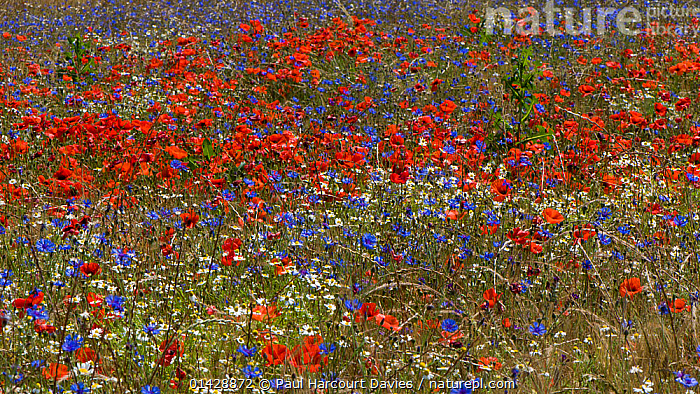 Poppies (Papaver rhoeas) Mayweed (Anthemis) and Cornflowers (Centaurea cyanus) in flower, near Orvieto, Umbria, Italy, June  ,  ASTERACEAE,COUNTRYSIDE,DICOTYLEDONS,FARMLAND,FLOWERS,PAPAVERACEAE,PLANTS,RED,WHITE,Europe  ,  Paul Harcourt Davies