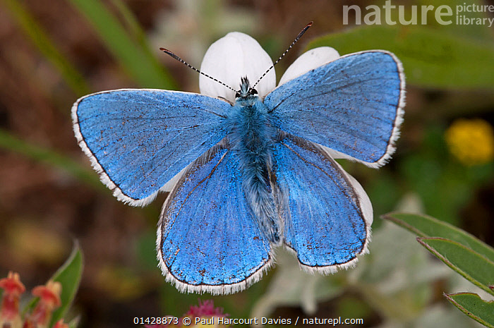 Adonis blue butterfly (Lysandra bellargus) Gran Sasso, Appennines, Abruzzo, Italy, June  ,  ALPINE,ARTHROPODS,BLUE,BUTTERFLIES,EUROPE,INSECTS,INVERTEBRATES,ITALY,LEPIDOPTERA,Apennines,Appennines,  ,  Paul Harcourt Davies