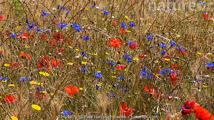 Poppies (Papaver rhoeas) Corn marigolds (Glebionis segetum) and Cornflowers (Centaurea cyanus) in flower, near Orvieto, Umbria, Italy, June  ,  ASTERACEAE,BLUE,DICOTYLEDONS,FARMLAND,FLOWERS,PAPAVERACEAE,PLANTS,RED,YELLOW,Europe  ,  Paul Harcourt Davies