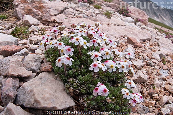 Rock Jasmine (Androsace villosa) in flower, Campo Imperatore, Gran Sasso, Italy, June  ,  ALPINE,DICOTYLEDONS,EUROPE,FLOWERS,ITALY,PLANTS,PRIMULACEAE,WHITE  ,  Paul Harcourt Davies