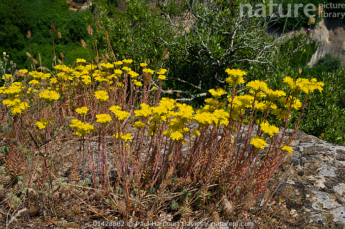 Rock Stonecrop (Sedum rupestre) growing near Sorano, Tuscany Italy, June  ,  CRASSULACEAE,DICOTYLEDONS,EUROPE,FLOWERS,ITALY,PLANTS,SUCCULENT,YELLOW  ,  Paul Harcourt Davies