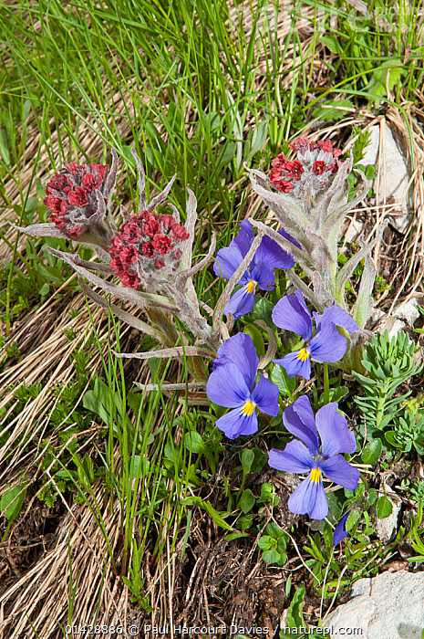 Eugenia's Violet (Viola eugeniaea) blue form, in flower, Campo Imperatore, Gran Sasso, Appennines, Abruzzo, Italy, June  ,  ALPINE,BLUE,DICOTYLEDONS,EUROPE,FLOWERS,ITALY,PLANTS,VERTICAL,VIOLACEAE,Apennines,Appennines,  ,  Paul Harcourt Davies