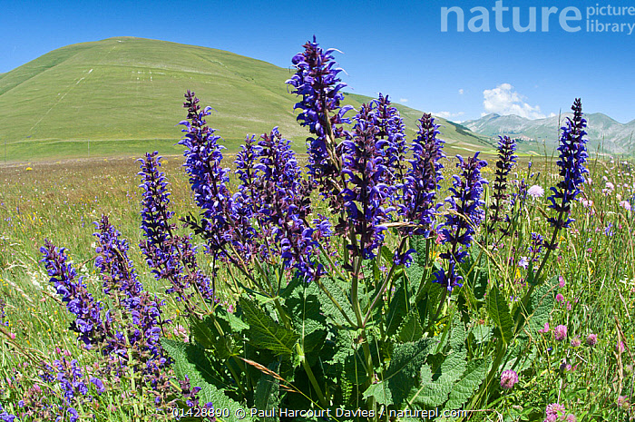 Meadow Clary (Salvia pratense) in flower, Piano Grande, Norcia, Umbria, Italy, June 2011  ,  DICOTYLEDONS,EUROPE,FLOWERS,ITALY,LAMIACEAE,LANDSCAPES,PLANTS,PURPLE  ,  Paul Harcourt Davies