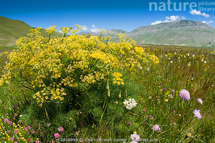 Cachrys (Cachrys ferulacea) in flower, Piano Grande, Sibillini, Umbria, Italy, June 2011  ,  ASTERIDS,DICOTS,DICOTYLEDONS,EUROPE,FLOWERS,HABITAT,ITALY,LANDSCAPES,PLANTS,YELLOW  ,  Paul Harcourt Davies