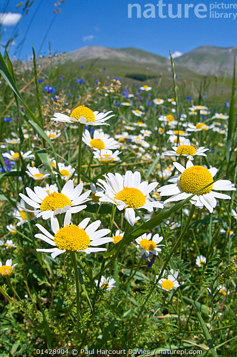 Wild flowers (Anthemis sp) on the Piano Grande, Sibillini, Umbria, Italy, June  ,  ASTERACEAE,DICOTYLEDONS,EUROPE,FLOWERS,ITALY,PLANTS,VERTICAL,WHITE,YELLOW  ,  Paul Harcourt Davies