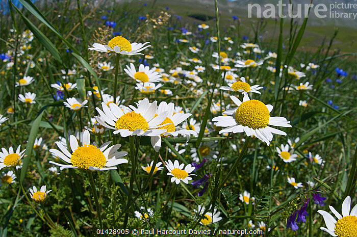 Wild flowers (Anthemis sp) on the Piano Grande, Sibillini, Umbria, Italy, June  ,  ASTERACEAE,DICOTYLEDONS,EUROPE,FLOWERS,ITALY,PLANTS,WHITE,YELLOW  ,  Paul Harcourt Davies