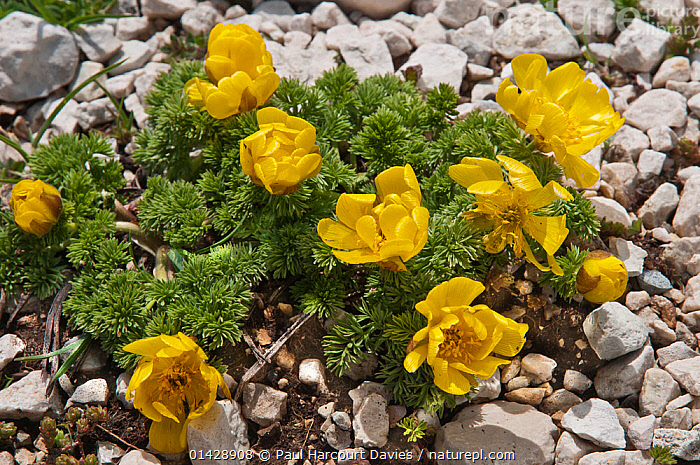 Apennine pheasant's eye (Adonis distorta) in flower, endemic to the central Apennines. Gran Sasso, Appennines, Abruzzo, Italy, June  ,  ALPINE,DICOTYLEDONS,ENDEMIC,EUROPE,FLOWERS,ITALY,PLANTS,RANUNCULACEAE,YELLOW,Apennines,Appennines,  ,  Paul Harcourt Davies