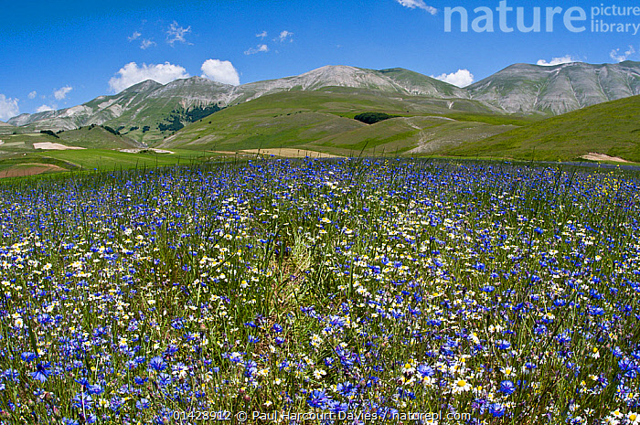 Cornflowers (Centaurea cyanus) and Mayweed (Anthemis) on the Piano Grande, Umbria, Italy, June 2011  ,  ASTERACEAE,BLUE,COMPOSITAE,COUNTRYSIDE,DICOTYLEDONS,EUROPE,FLOWERS,ITALY,LANDSCAPES,PLANTS,WHITE  ,  Paul Harcourt Davies