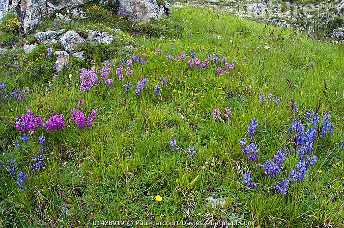 Nice Milkwort (Polygala nicaensis) flowers showing different colour forms in blue, purple and pink,  Campo Imperatore, Gran Sasso, Appennines, Abruzzo, Italy, June  ,  ALPINE,BLUE,DICOTYLEDONS,EUROPE,FLOWERS,ITALY,PLANTS,POLYGALACAEA,WILD FLOWERS,WILDFLOWERS,Apennines,Appennines,  ,  Paul Harcourt Davies