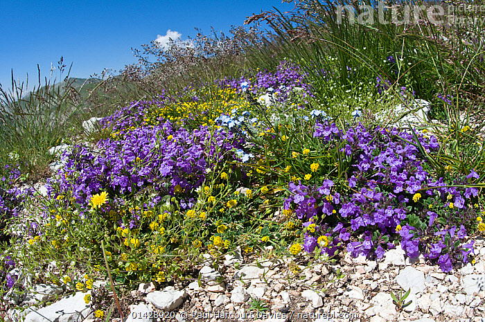 Basil Thyme (Acinos arvensis) in flower, with Forget me nots (Myotis sp) and other alpin flowers, Mount Vettore, Sibillini, Umbria, Italy, June  ,  ALPINE,BLUE,DICOTYLEDONS,EUROPE,FLOWERS,ITALY,LAMIACEAE,PLANTS,WILD FLOWERS,WILDFLOWERS,YELLOW  ,  Paul Harcourt Davies
