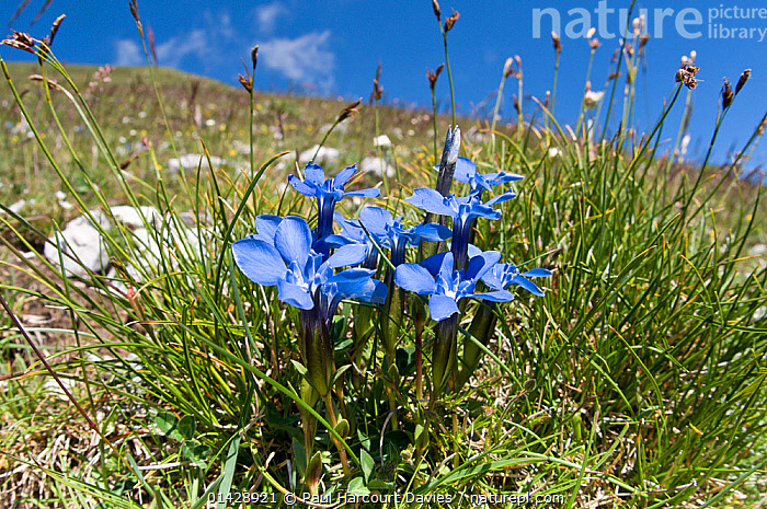 Spring gentian (Gentiana verna) in flower, Mount Vettore, Sibillini, Umbria, Italy, June  ,  BLUE,DICOTYLEDONS,EUROPE,FLOWERS,GENTIANACEAE,ITALY,PLANTS,WILD FLOWERS,WILDFLOWERS  ,  Paul Harcourt Davies