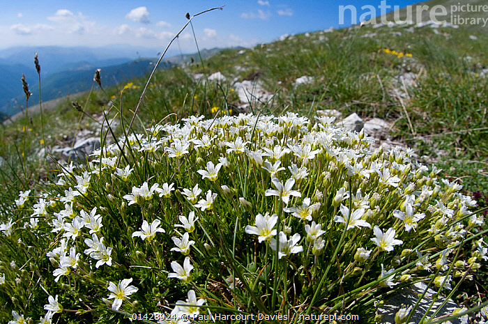 Large-flowered Sandwort (Arenaria grandiflora) photo on the route up Mount Vettore, Sibillini, Umbria, Italy, June  ,  ALPINE,CARYOPHYLLACEAE,DICOTYLEDONS,EUROPE,FLOWERS,ITALY,PLANTS,WHITE,WILD FLOWERS,WILDFLOWERS  ,  Paul Harcourt Davies