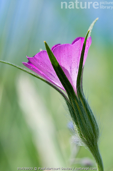 Corncockle (Agrostemma githago) in flower, Piano Grande, Umbria, Italy, June  ,  CARYOPHYLLACEAE,DICOTYLEDONS,EUROPE,FLOWERS,ITALY,PINK,PLANTS,VERTICAL,WILD FLOWERS,WILDFLOWERS  ,  Paul Harcourt Davies