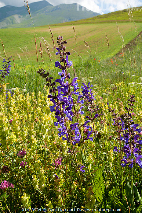 Yellow rattle (Rhinanthus minor) and Meadow clary (Salvia pratense) in flower, Sibillini, Umbria, Italy, June  ,  BLUE,DICOTYLEDONS,EUROPE,FLOWERS,ITALY,LAMIACEAE,MEADOWS,PLANTS,VERTICAL,WILD FLOWERS,WILDFLOWERS  ,  Paul Harcourt Davies