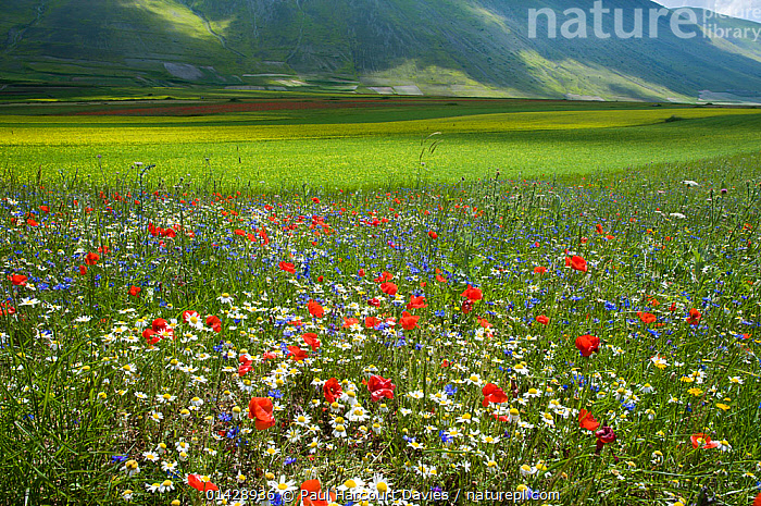Flowers in fields on the Piano Grande, with Red poppies (Papaver rhoeas), Cornflowers (Centaurea cyanus) mustard and Umbria, Italy, June 2010  ,  BLUE,COUNTRYSIDE,DICOTYLEDONS,EUROPE,FLOWERS,ITALY,LANDSCAPES,MEADOWS,PAPAVERACEAE,PLANTS,RED,UMBIRA,WHITE,WILD FLOWERS,WILDFLOWERS  ,  Paul Harcourt Davies