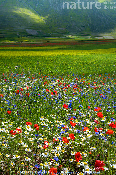 Floral colour in fields on the Piano Grande from Poppies (Papaver rhoeas), Cornflowers (Centaurea), Mustard (Brassica) and Mayweed (Anthemis), Umbria, Italy, June, catalogue6,PAPAVER RHOEAS,Plant,Vascular plant,Flowering plant,Dicot,Poppy,Common poppy,Rosid,Crucifer,Cruciferous vegetable,Asterid,Knapweed,Chamomile,Plantae,Plant,Tracheophyta,Vascular plant,Magnoliopsida,Flowering plant,Angiosperm,Seed plant,Spermatophyte,Spermatophytina,Angiospermae,Ranunculales,Dicot,Dicotyledon,Ranunculanae,Papaveraceae,Fumariaceae,Papaver,Poppy,Stylomecon,Papaver rhoeas,Common poppy,Corn poppy,Field poppy,Red poppy,Brassicales,Rosid,Rosanae,Brassicaceae,Crucifer,Cabbage family,Mustard,Mustard flower,Cruciferae,Brassica,Cruciferous vegetable,Cabbage,Asterales,Asterid,Asteranae,Asteraceae,Compositae,Centaurea,Knapweed,Star thistle,Anthemis,Chamomile,Camomile,Arrangement,Variation,No One,Nobody,Europe,Southern Europe,South Europe,Italy,Umbria,Wildflower,Wildflowers,Flower,Poppies,Corn Poppy,Corn Poppies,Flanders Poppies,Flanders Poppy,Papaver Rhoeas,Food,Foods,Cultivated Land,Fields,Light,Lights,Sunlight,Outdoors,Open Air,Outside,Day,Grassland,Meadow,Meadows,Farmland,Piano Grande,Crop,Crops, Paul  Harcourt Davies