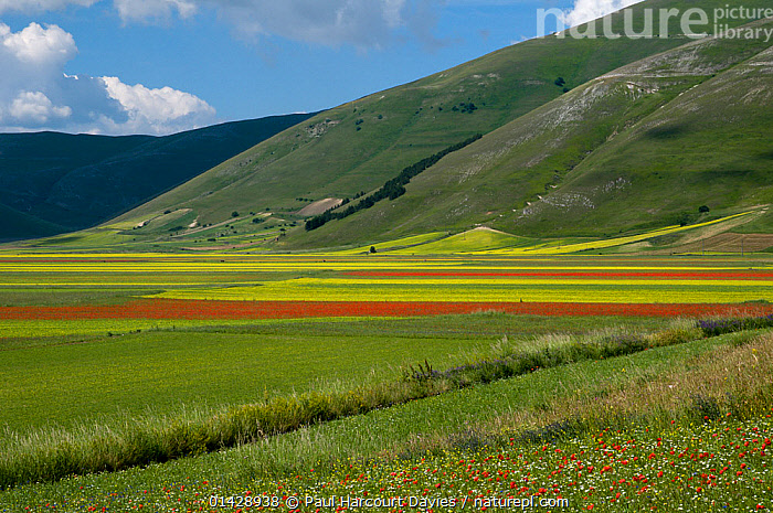 Floral colour in fields on the Piano Grande from Poppies (Papaver rhoeas) and Mustard (Brassica) Italy, June 2010  ,  COUNTRYSIDE,DICOTYLEDONS,EUROPE,FLOWERS,ITALY,LANDSCAPES,PAPAVERACEAE,PLANTS,RED,WILD FLOWERS,WILDFLOWERS,YELLOW  ,  Paul Harcourt Davies