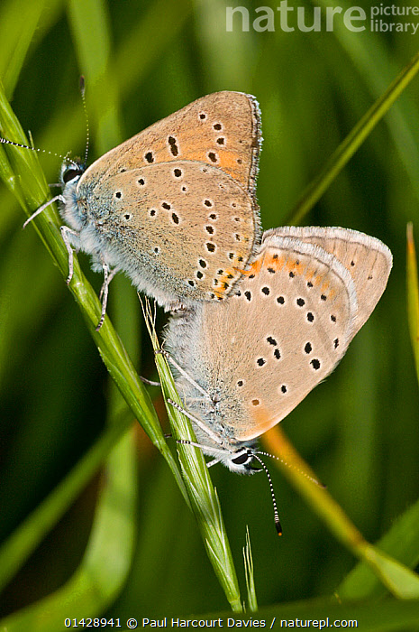 Purple-edged copper butteflies (Lycaena hippothoe) mating pair,  Sibillini, Umbria, Italy, June  ,  ARTHROPODS,BUTTERFLIES,COPULATION,EUROPE,FEMALES,INSECTS,INVERTEBRATES,ITALY,LEPIDOPTERA,MALE FEMALE PAIR,MALES,MATING BEHAVIOUR,REPRODUCTION,VERTICAL  ,  Paul Harcourt Davies