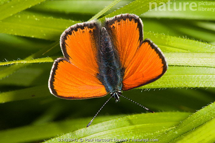 Scarce Copper (Lycaena virgaureae) male, dorsal view, resting on leaves, above Piano Grande, Sibillini, Umbria, Italy, June  ,  ARTHROPODS,BRIGHT,BUTTERFLIES,EUROPE,INSECTS,INVERTEBRATES,ITALY,LEPIDOPTERA,MALES,ORANGE  ,  Paul Harcourt Davies
