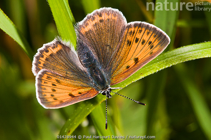 Scarce Copper (Lycaena virgaureae) female, dorsal view, above Piano Grande, Sibillini, Umbria, Italy, June  ,  ARTHROPODS,BUTTERFLIES,EUROPE,FEMALES,INSECTS,INVERTEBRATES,ITALY,LEPIDOPTERA  ,  Paul Harcourt Davies