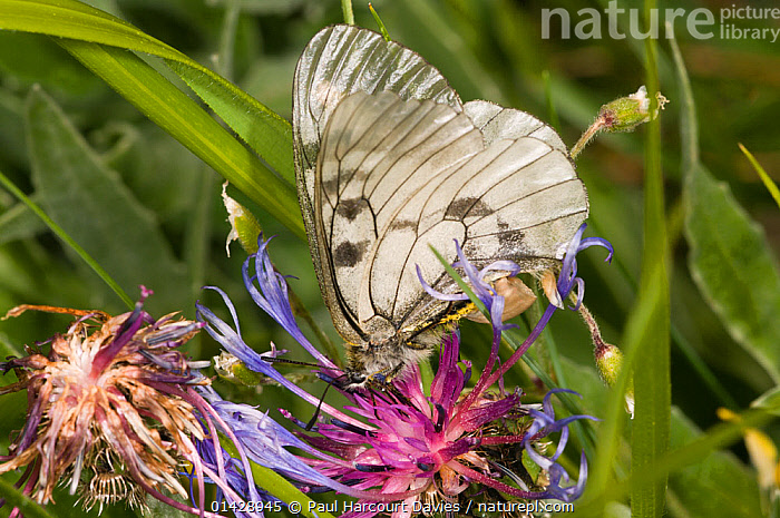 Clouded Apollo (Apollo mnemosyne) feeding, Sibillini, Umbria, Italy, June  ,  ARTHROPODS,BUTTERFLIES,EUROPE,FLOWERS,INSECTS,INVERTEBRATES,ITALY,LEPIDOPTERA,PINK,WILD FLOWERS,WILDFLOWERS  ,  Paul Harcourt Davies
