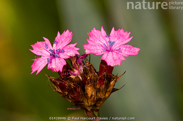 Carthusian Pink (Dianthus carthusianum) in flower,  Mount Sibillini, Umbria, Italy, June.  ,  CARYOPHYLLACEAE,DICOTYLEDONS,EUROPE,FLOWERS,ITALY,PINK,PLANTS,WILD FLOWERS,WILDFLOWERS  ,  Paul Harcourt Davies