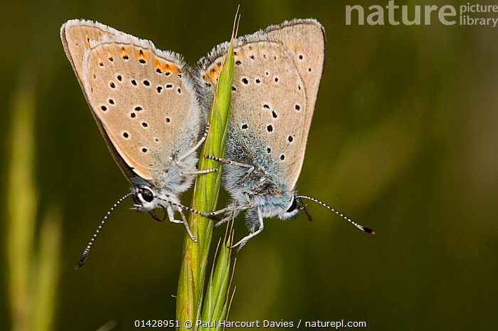 Purple-edged copper (Lycaena hippothoe) mating pair, above Piano Grande, Sibillini Umbria, Italy, June  ,  ARTHROPODS,BUTTERFLIES,COPULATION,EUROPE,FEMALES,INSECTS,INVERTEBRATES,ITALY,LEPIDOPTERA,MALE FEMALE PAIR,MALES,MATING BEHAVIOUR,REPRODUCTION  ,  Paul Harcourt Davies