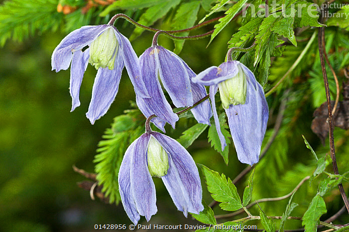 Alpine Clematis (Clematis alpina) in flower, in ancient pine and mixed woodland, Val di Vallesinella near Madonna di Campiglio, Brenta Dolomites, Italy, July  ,  BLUE,CLIMBERS,DICOTYLEDONS,EUROPE,FLOWERS,ITALY,PLANTS,RANUNCULACEAE,WILD FLOWERS,WILDFLOWERS  ,  Paul Harcourt Davies