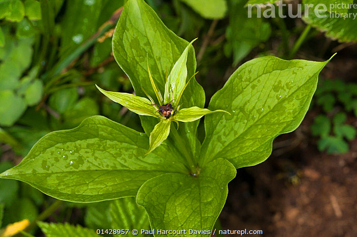 Herb Paris (Paris quadrifolia) in flower, in ancient pine and mixed woodland, Val di Vallesinella near Madonna di Campiglio, Brenta Dolomites, Italy, July  ,  EUROPE,FLOWERS,ITALY,LILIACEAE,MONOCOTYLEDONS,PLANTS,WILD FLOWERS,WILDFLOWERS  ,  Paul Harcourt Davies