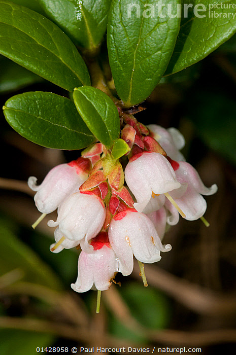 Bearberry (Arctostaphyllos uva-ursi) in flower, in ancient pine and mixed woodland, Val di Vallesinella near Madonna di Campiglio, Brenta Dolomites, Italy, July  ,  BEARBERRY,DICOTYLEDONS,ERICACEAE,EUROPE,FLOWERS,ITALY,PLANTS,VERTICAL,WHITE,WILD FLOWERS,WILDFLOWERS  ,  Paul Harcourt Davies